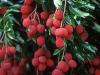 lychee-wp