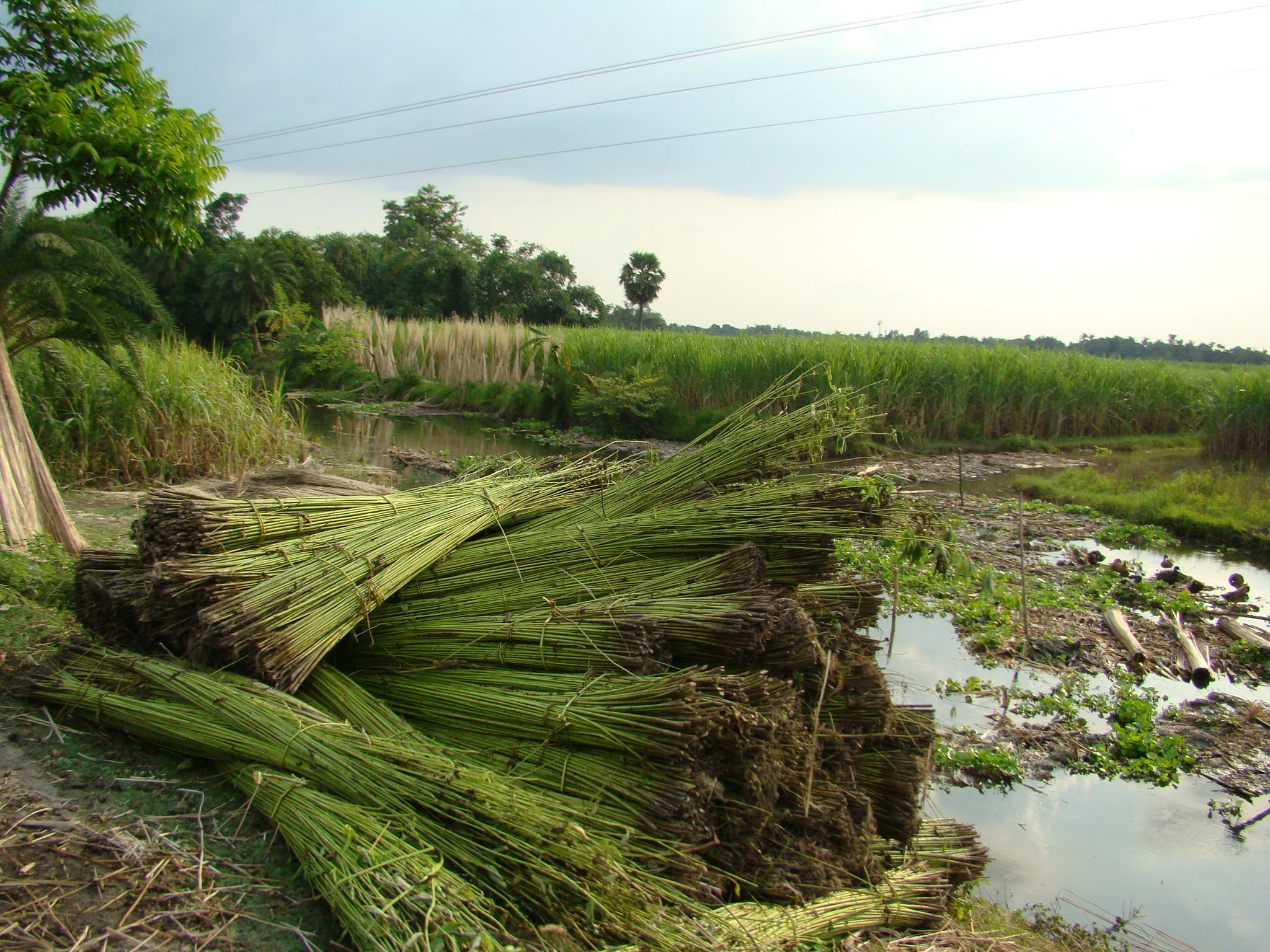 dinajpur-Jute-cultivation