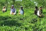 Panchagarh tea garden2013