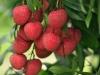 bangladeshi-fruits-lichu