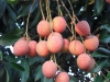 delicious-juicy-lichi-from-dinajpur-bangladesh