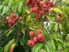 799px-litchi_chinensis_fruits